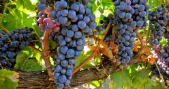 Relationship between hyperspectral indices, agronomic parameters and phenolic composition of vitis vinifera cv tempranillo grapes