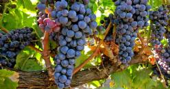 Relación entre índices hiperespectrales, parámetros agronómicos y composición fenólica en uvas Vitis vinífera cv Tempranillo