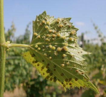 Indagine sulla tolleranza della vite selvatica europea (Vitis vinifera subsp. sylvestris) nei confronti della fillossera (Daktulosphaira vitifoliae Fitch)