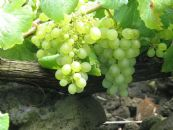 Sensory and Volatile characterization of Australian White wines from cv. Verdelho produced in the Queensland Granite Belt region