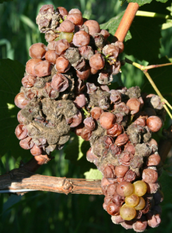Botrytis Bunch Rot: a complex disease requiring integrated control