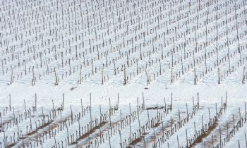 Researchers move closer to preventing frost damage in vineyards by managing bacteria on the vines