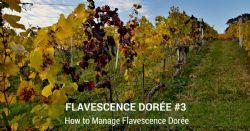 Flavescencia Dorada#3 – Como gestionar la FD