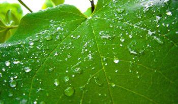 Le compromis entre le rendement des raisins et la susceptibilité de la vigne de développer l'oïdium et la pourriture grise dépend des variations interannuelles du stress hydrique