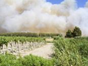 Descubierto el mecanismo de formación de olores a humo en uvas expuestas a incendios