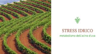 Effetto dello stress idrico sul metabolismo dell'acino d'uva in varietà a bacca bianca e rossa