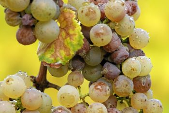 Applying technology to the question of grape quality