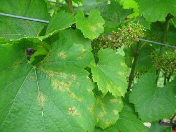 FITOVID – implementación de estrategias para la reducción del uso de fitosanitarios en viticultura