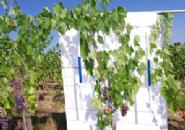 Risposte del Sangiovese coltivato su suoli con funzionalità ridotta