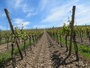 As climate changes, so will wine grapes
