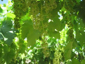 Herramienta para el fenotipado rápido de la viabilidad del polen de vid