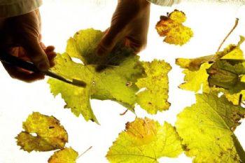 Secuenciado del genoma del mildiu