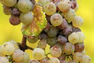 Tecnologia aplicada à qualidade da uva