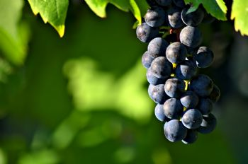 Environmental and Viticultural Practice Effects on the Phenolic Composition of Grapes: impact on wine sensory properties