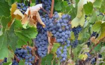 Phenological response of cabernet sauvignon under climate change in two Spanish regions with different climatic characteristics