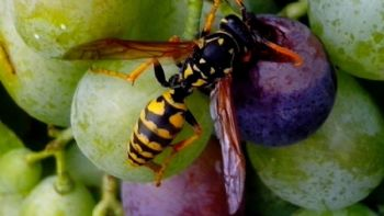 Entomological Opportunities and Challenges for Sustainable Viticulture in a Global Market