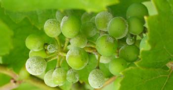 Evaluación de diferentes estrategias para reducir el uso de productos fitosanitarios en viticultura