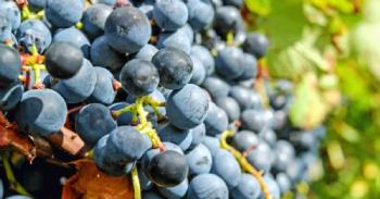 Descubren el mecanismo usado por las uvas para respirar