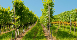 Cover crops competition for water in vineyards: case studies in Mediterranean terroirs