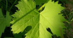 L'effet des paramètres météorologiques sur la transpiration diurne et nocturne et la conductance stomatique de la vigne