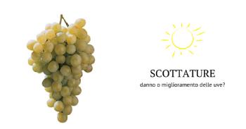 Scottature e conseguente ossidazione dei tannini: danno o miglioramento delle uve?