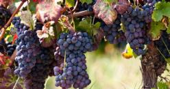Réponse phrénologique du cabernet sauvignon dans le contexte du changement climatique dans deux régions espagnoles aux caractéristiques climatiques différentes