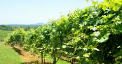 Efecto de la bioestimulación foliar con extracto de té verde y catequina en viñedo en la composición aromática de los vinos de Monastrell