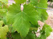 Incidencia de la aplicación foliar de catequina y extracto de té verde en viñedo en el color de los vinos de Monastrell