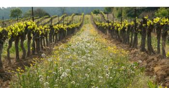 Les mesures agro-environnementales réduisent de moitié l'utilisation d'herbicides en viticulture