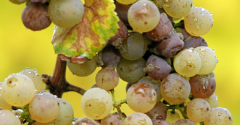 Botrytis Bunch Rot: Winemaking Implications and Considerations
