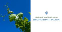 Innovativa applicazione fogliare per migliorare la maturità fenolica e aromatica delle uve