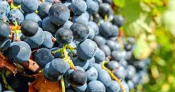 2018 South Australia Winegrape Crush Survey