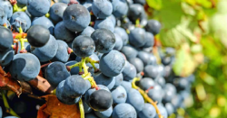 2018 South Australia Winegrape Crush Survey