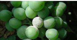 Descubierta en Georgia una planta de vid resistente al mildiú