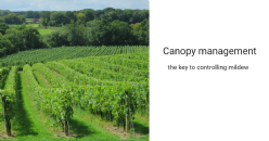Canopy management the key to controlling mildew