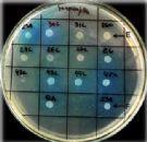 Lachancea thermotolerans, a levedura não-Saccharomyces que reduz a acidez volátil dos vinhos