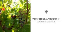 Scoperti i processi chiave coinvolti nello squilibrio tra zuccheri e antociani nell'uva