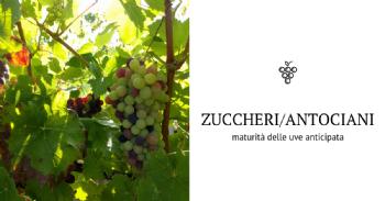 Descubren los procesos clave implicados en el desequilibrio entre azúcares y antocianinas en la uva