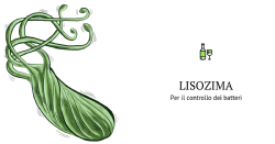 Lisozima immobilizzato su sferule di chitosano da Aspergillus niger per il controllo selettivo di Oenococcus oeni in vino: applicazione in bioreattore a letto fluidizzato