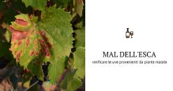 Qualità di uve Sangiovese prodotte da piante asintomatiche affette da mal dell'esca