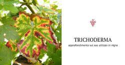 Uso del Trichoderma per prevenire il mal dell'esca
