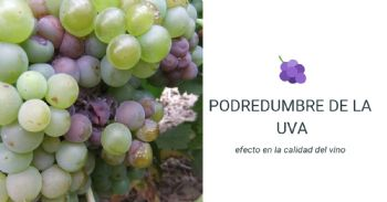 Efecto de la podredumbre de la uva en la calidad del vino