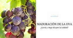 Effect of irrigation on grapes maturation