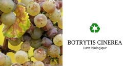 Biological control of Botrytis cinerea in grapes: effects on the winemaking process and the quality of grapes, must and wine