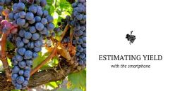 Estimating vineyard yield?