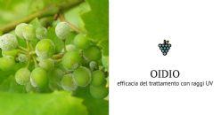 Dimostrata l'efficacia dei raggi UV per il trattamento dell'oidio