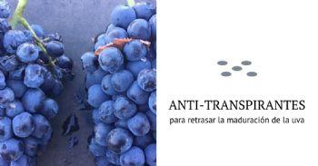 Estudian la aplicación de antitranspirantes para retrasar la maduración de la uva