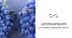 Applicazione di antitraspiranti per ritardare la maturazione dell'uva