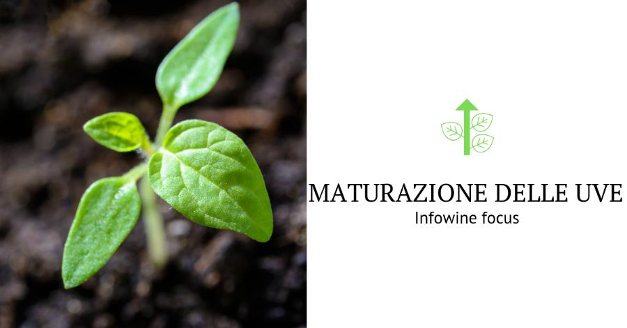 Maturazione delle uve Infowine focus