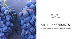 Application d'antitranspirants pour retarder la maturation du raisin : un projet à l'étude